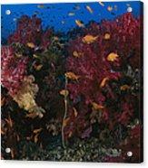 Anthias Fish Swim Near A Reef Wall Acrylic Print