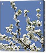 Apple Trees In Full Bloom Acrylic Print by Wilfried Krecichwost