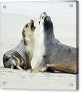 Australian Sea Lions Acrylic Print