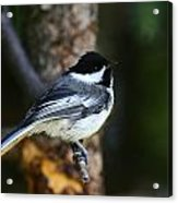 Blackcapped Chickadee Acrylic Print