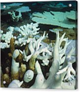 Bleached Coral Acrylic Print