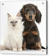 Blue-point Kitten & Dachshund Acrylic Print