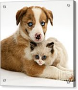 Border Collie And Birman-cross Kitten Acrylic Print
