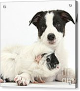 Border Collie Pup And Guinea Pig Acrylic Print