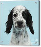 Border Collie X Cocker Spaniel Puppy Acrylic Print