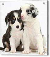 Boreder Collie Puppies Acrylic Print