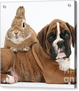 Boxer Puppy And Netherland-cross Rabbit Acrylic Print