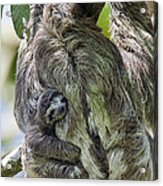 Brown-throated Three-toed Sloth Acrylic Print by Suzi Eszterhas