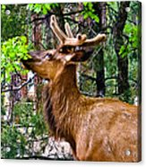 Browsing Elk In The Grand Canyon Acrylic Print