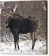 Bull Moose In Winter Acrylic Print