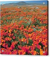 Californian Poppies (eschscholzia) Acrylic Print