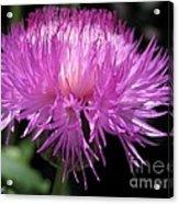 Centaurea From The Sweet Sultan Mix Acrylic Print