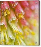Close Up Of Flower Stamen Acrylic Print