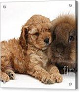 Cockerpoo Puppy And Rabbit Acrylic Print