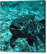 Coelacanth Fish Acrylic Print
