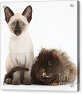 Colorpoint Rabbit And Siamese Kitten Acrylic Print