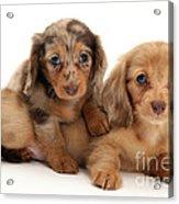 Dachshund Pups Acrylic Print