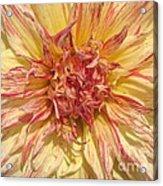 Dahlia Named Misty Explosion Acrylic Print