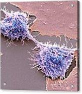 Dividing Hela Cells, Sem Acrylic Print