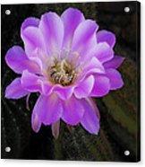 Echinopsis Aurea  Acrylic Print