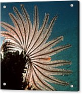 Featherstar Acrylic Print by Peter Scoones