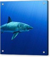 Female Great White Shark, Guadalupe Acrylic Print