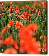 Field Of Poppies. Acrylic Print