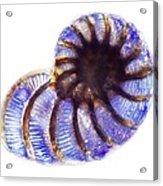 Foraminiferan, Light Micrograph Acrylic Print by Frank Fox