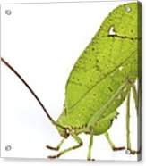 Giant Leaf Katydid Barbilla Np Costa Acrylic Print
