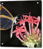 Glasswing Butterfly Acrylic Print