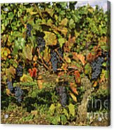 Grapes Growing On Vine Acrylic Print
