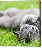 Gray Cat  Acrylic Print