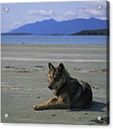 Gray Wolf On Beach Acrylic Print