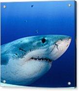 Great White Shark, Guadalupe Island Acrylic Print