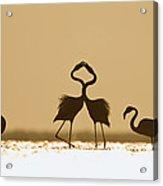 Greater Flamingo Phoenicopterus Ruber Acrylic Print