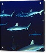Grey Reef Sharks Acrylic Print