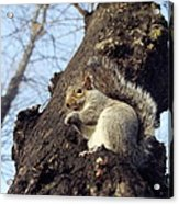 Grey Squirrel Acrylic Print by Georgette Douwma