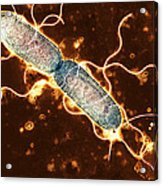 Gut Bacterium Reproducing, Tem Acrylic Print by Hazel Appleton, Centre For Infectionshealth Protection Agency