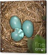 Hatching Robin Nestlings Acrylic Print