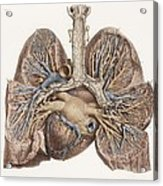 Heart And Lungs, Historical Illustration Acrylic Print