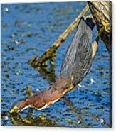 Heron Strike Acrylic Print