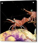 Hingebeak Shrimp On A Seasquirt Acrylic Print