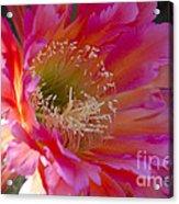 Hot Pink Cactus Flower Acrylic Print