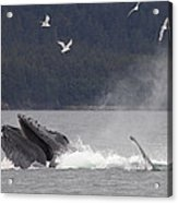 Humpback Whale Megaptera Novaeangliae Acrylic Print