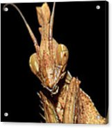 Indian Rose Mantis Acrylic Print