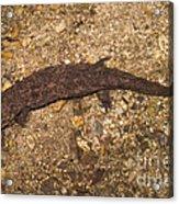 Japanese Giant Salamander Acrylic Print