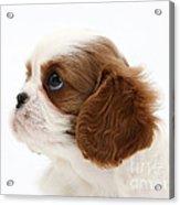 King Charles Spaniel Puppy Acrylic Print
