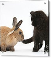 Kitten And Young Rabbit Acrylic Print