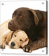 Labradoodle And Labrador Retriever Acrylic Print