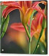 Lady Orange Lily Acrylic Print